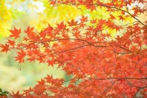 紅色の葉っぱ写真